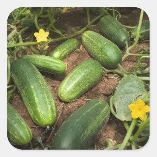 Cucumbers Square Sticker