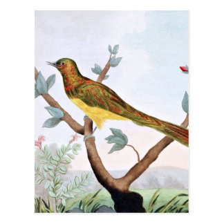 Cupreous Cuckoo Bird Illustration Postcard