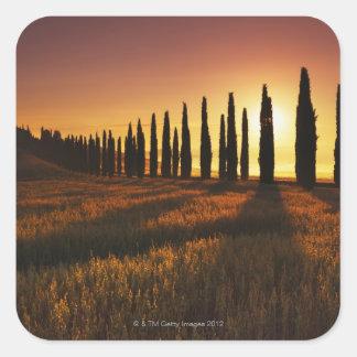 (cupressus sempervirens) - Europe, Italy, Square Sticker