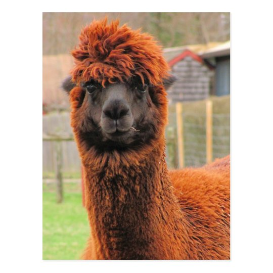 Curious Alpaca ~ postcard