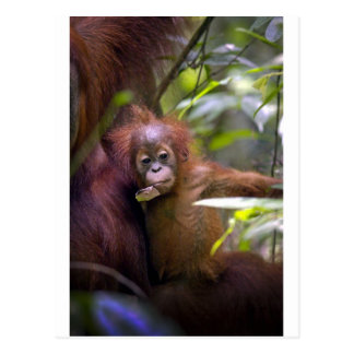 Curious baby orangutan in mothers arms postcard