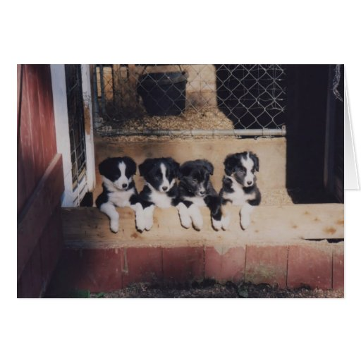 Curious Border Collie Puppies Dog Card