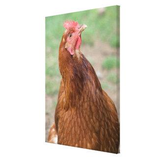 Curious Chicken Portrait Canvas Print