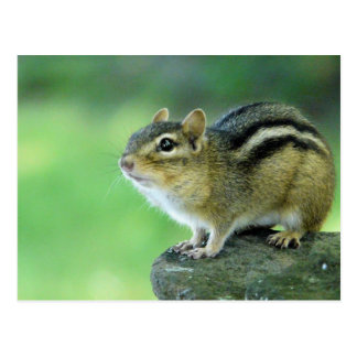 Curious Chipmunk  Postcard
