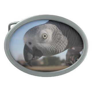 Curious Congo African Grey Parrot Oval Belt Buckles