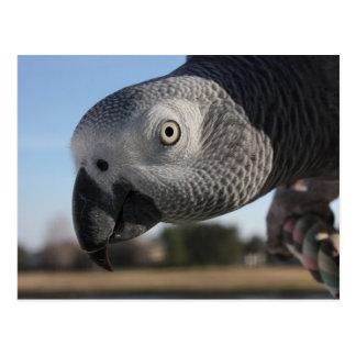 Curious Congo African Grey Parrot Postcard