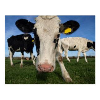 Curious Cow Postcard