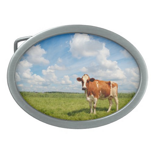Curious cow standing on meadow. belt buckle
