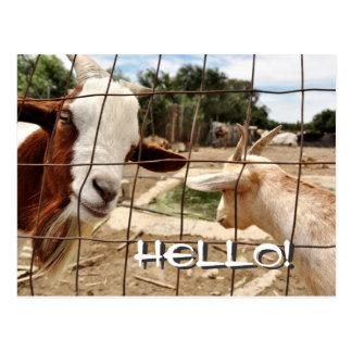 Curious goat - Postcard
