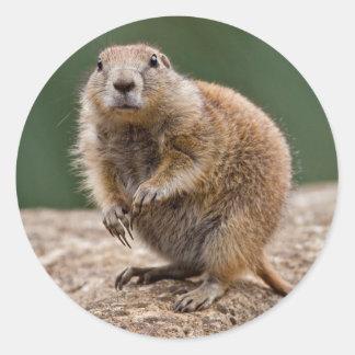 Curious Prairie Dog Sticker