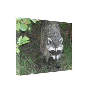 Curious Raccoon Gallery Wrapped Canvas