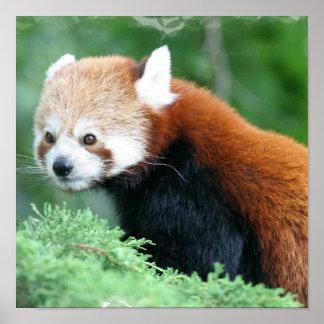Curious Red Panda Poster