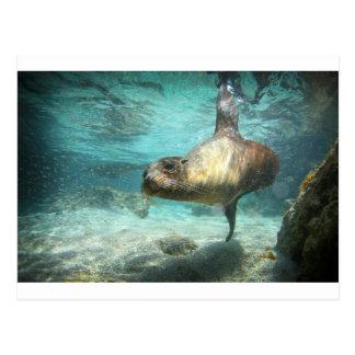 Curious sea lion Galapagos underwater Postcard