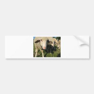 Curious sheep bumper sticker