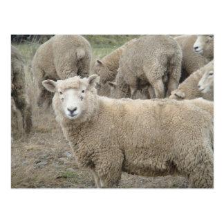 Curious Sheep Post Card