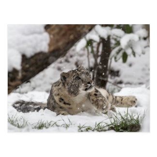 Curious Snow Leopard in Snow Postcard