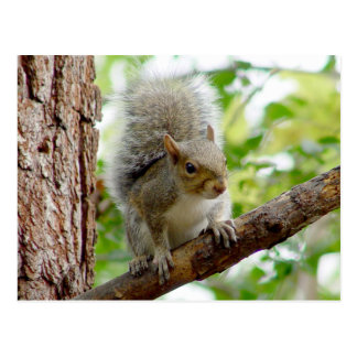 Curious Squirrel Animal Postcard