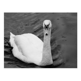 Curious swan postcard