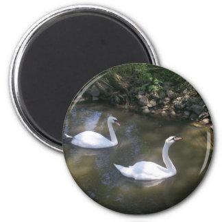 Curious Swans Magnet