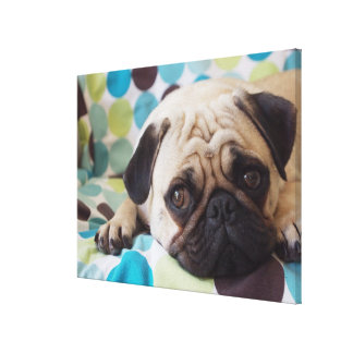 curious young pet stretched canvas prints