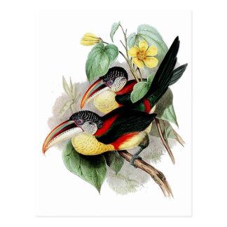 Curl-crested Aracari Postcard