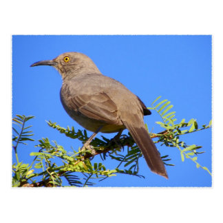 Curved-Bill Thrasher Postcard