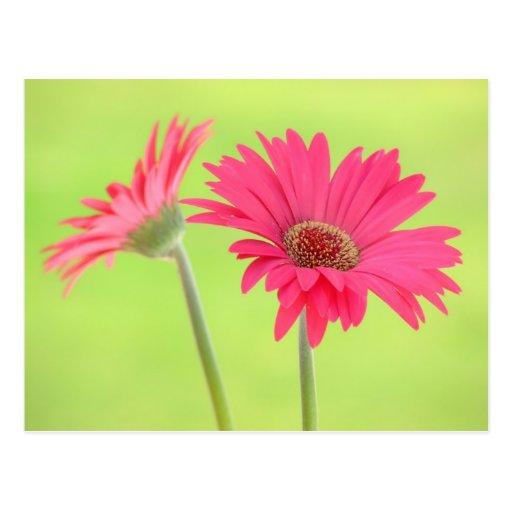 Customisable Pink Gerber Daisies on Green Postcard