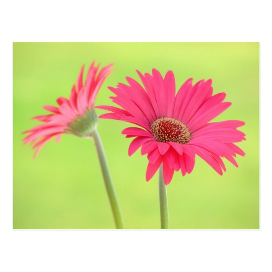 Customisable Pink Gerber Daisies on Green Postcard