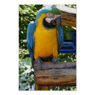 Customizable Blue and Gold Macaw Poster