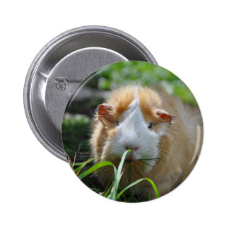 Cute, Abyssinian, Cream and White Guinea Pig 6 Cm Round Badge