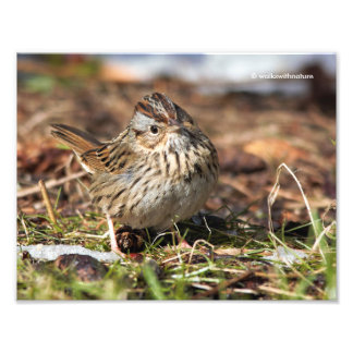 Cute and Spunky Lincoln's Sparrow Photo Print