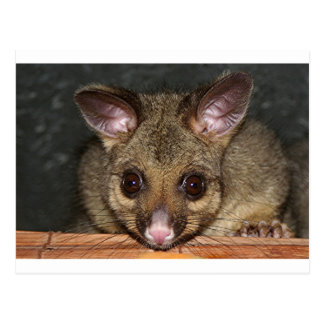 Cute Australian possum Postcard