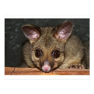 Cute Australian possum Postcard