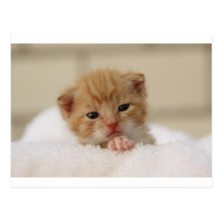 Cute baby kitten in white towel. postcard