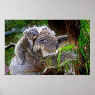 Cute baby koala bear with mom in a tree poster