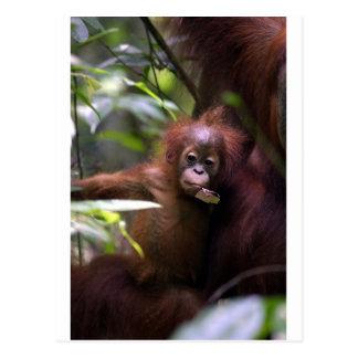 Cute baby orangutan Sumatra Postcard