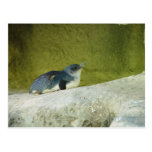 Cute Baby Penguin At Perth Zoo Post Card