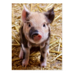 Cute Baby Piglet Farm Animals Barnyard Babies Postcard