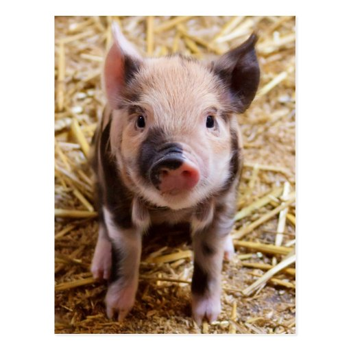 Cute Baby Piglet Farm Animals Barnyard Babies Post Cards