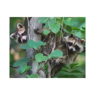 Cute Baby Raccoons Canvas Print