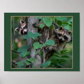 Cute Baby Raccoons Poster