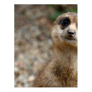 Cute Big-Eyed Meerkat Postcard