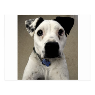 Cute black and White Pit Bull Terrier Postcard