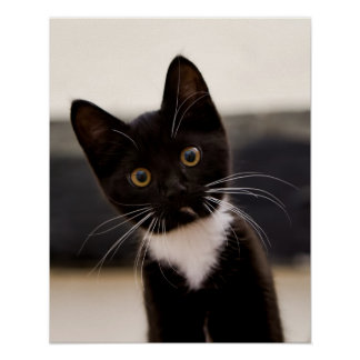 Cute Black And White Tuxedo Kitten Poster