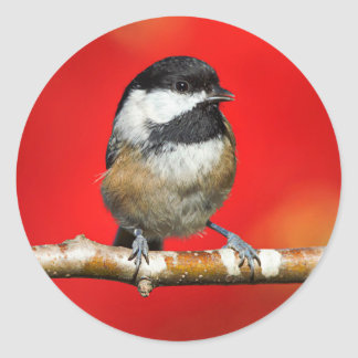 Cute Black-Capped Chickadee with Red Autumn Leaves Classic Round Sticker