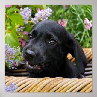 Cute Black Labrador Retriever Dog Puppy Pet Photo Poster