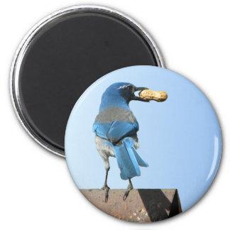 Cute Blue Scrub Jay Bird & Peanut Magnet