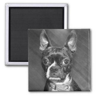 Cute Boston Terrier magnet
