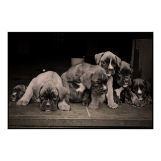 Cute Boxer Puppies Poster