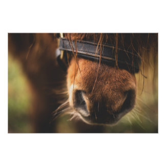 Cute Brown Horse Nose Poster